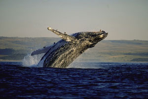 Whale watching in Plett